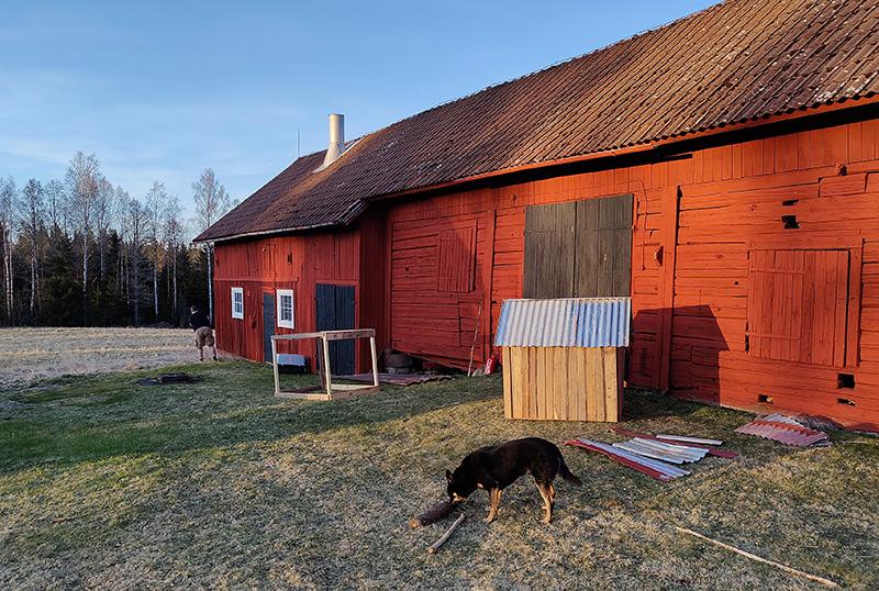 Rickard står vid knuten på vår faluröda lada och fotograferar ett rådjur som går på åkern bortanför. I förgrunden leker Qvick (hunden) med en pinne.