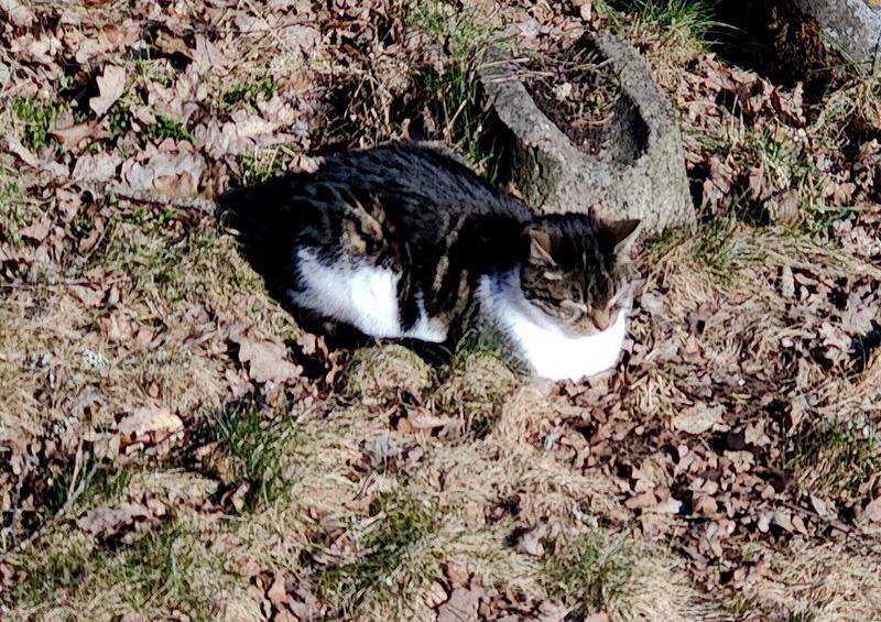 Katten (Michelin) ligger i en hög torra löv i solskenet, blundar och njuter. Michelin är vit, svart och brun.