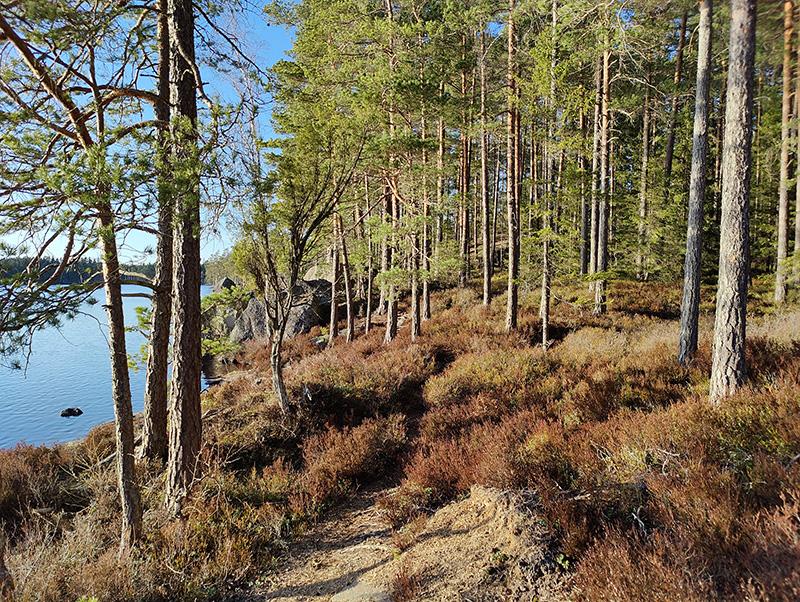 Bilden visar en stig i en tallskog. Ljung växer på marken, solen skiner och till vänster skymtar vatten.