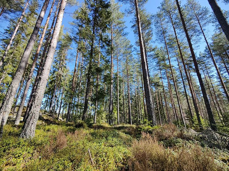 En bild på en glänta i en tallskog. Grönt blåbärsris på marken och blå himmel och solsken.