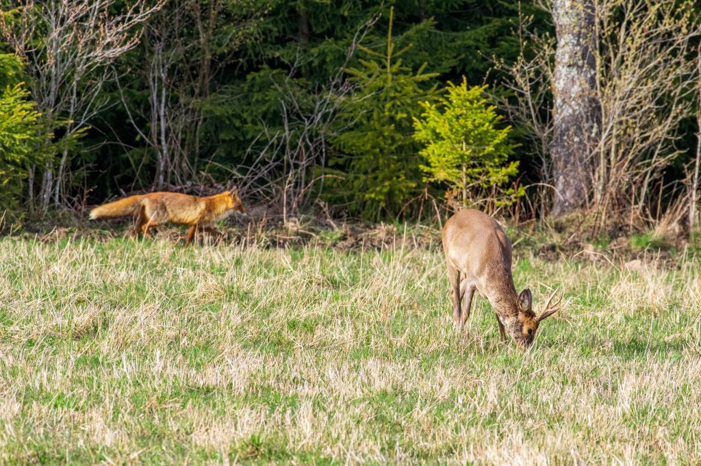 En räv går förbi strax bakom en betande råbock.